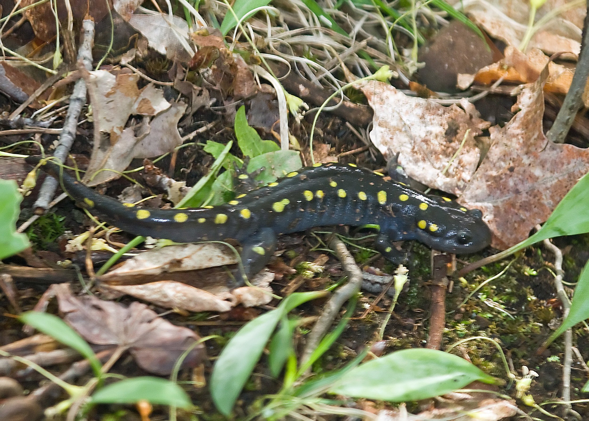 Spotted Salamander (Ambystoma maculatum) Amy's Pond 08-05-04.jpg