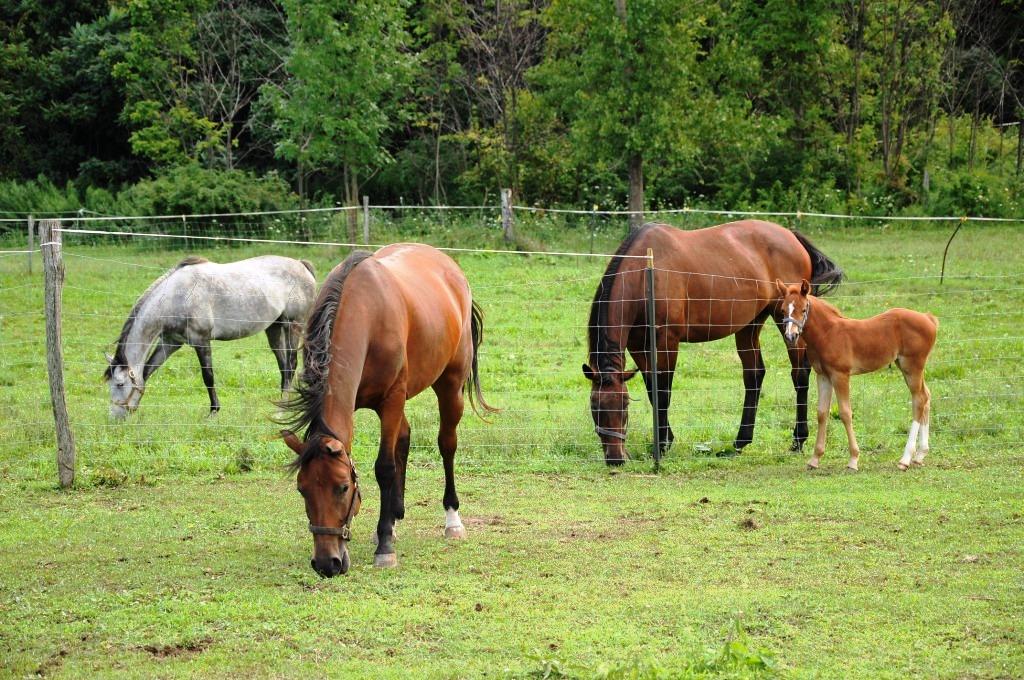 Alasa Farms horses- Nigel P. Kent.jpg