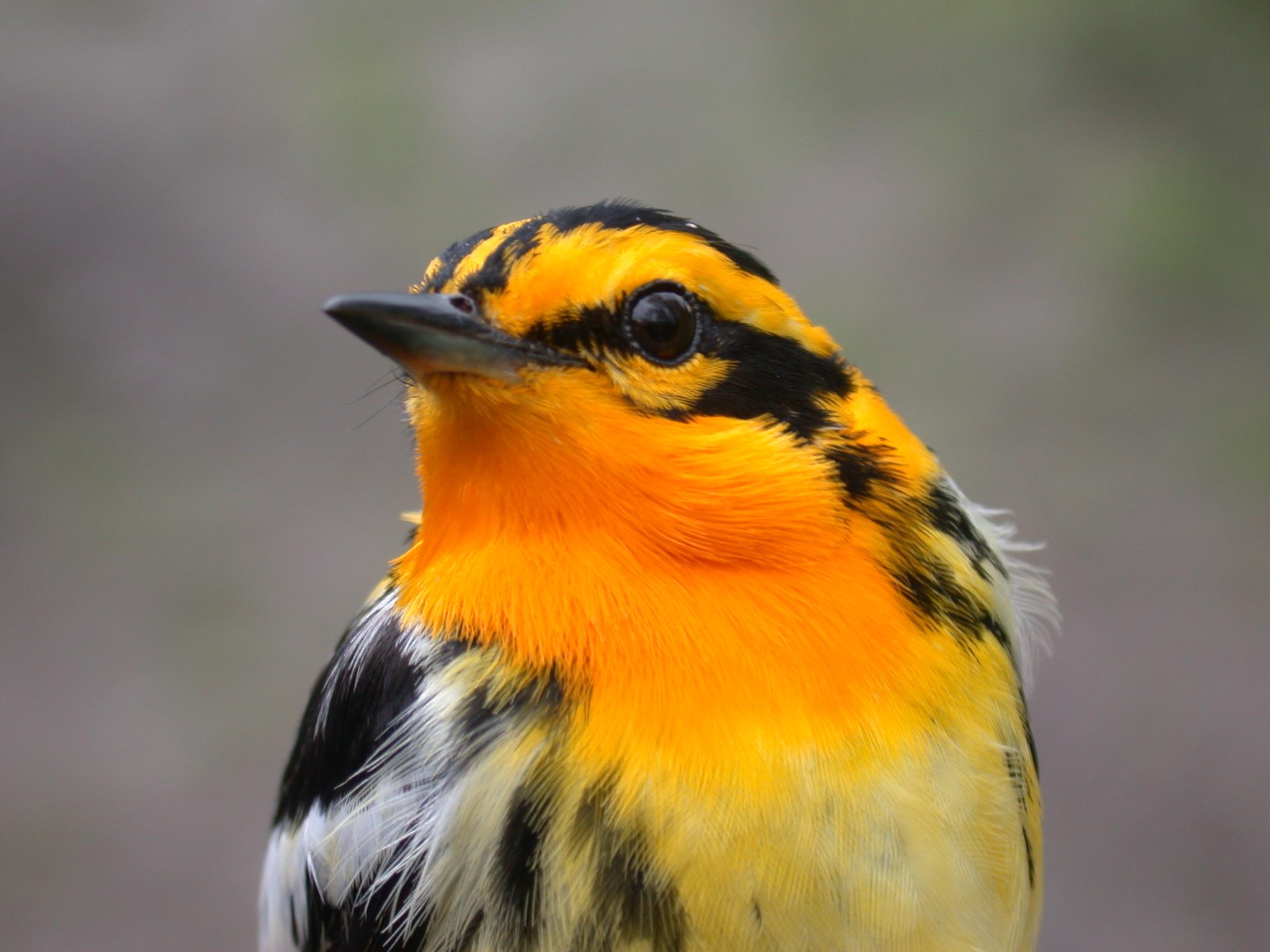 Blackburnian Warbler (male) - Charley Eisman.jpg