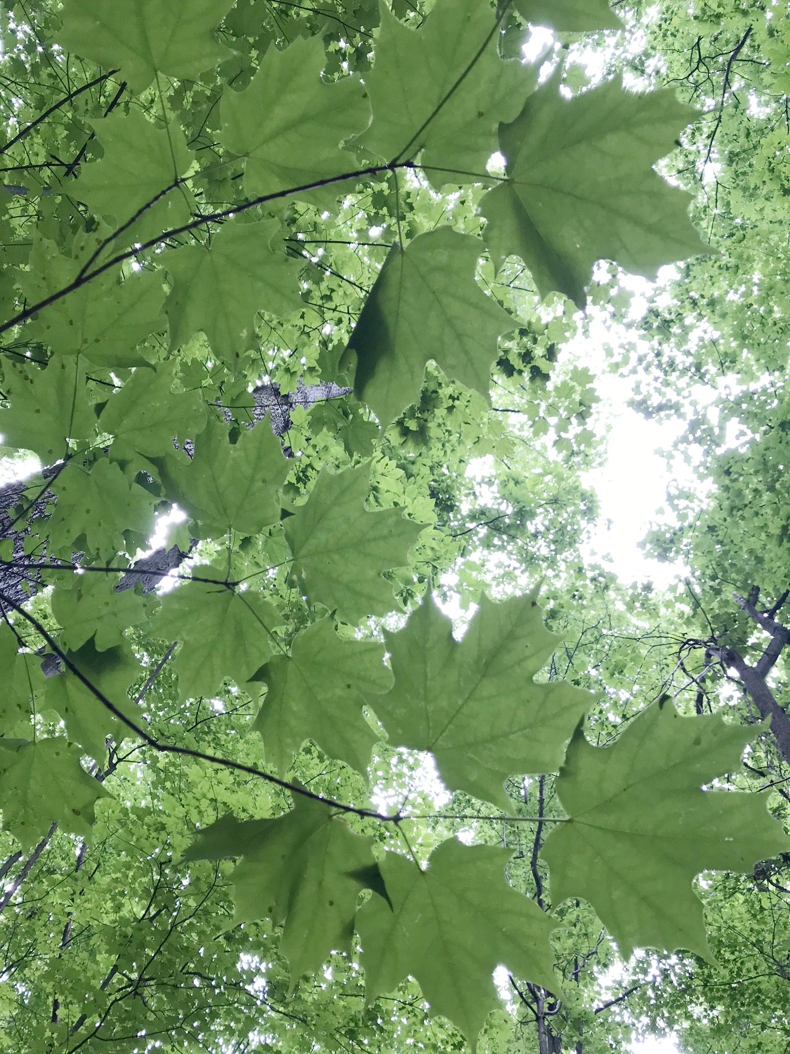 Sugar maple circle -