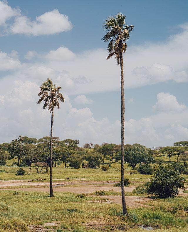 ❤ 🌴 #palmtreelove ...#tanzania #zanzibar #arusha #kilimanjaro #safari #exotictravel #masaimara #tarangire #ngorongoro #stonetown #pool #sunshine #lovepalmtrees #palmtre