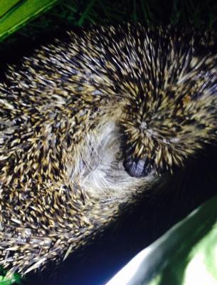 Hedgehog seen at site
