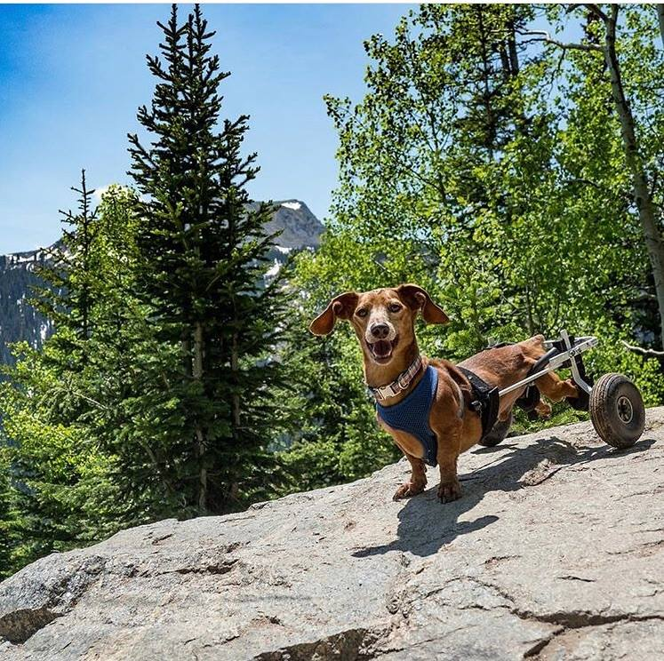 Little Dipper Doxie enjoying the great outdoors.