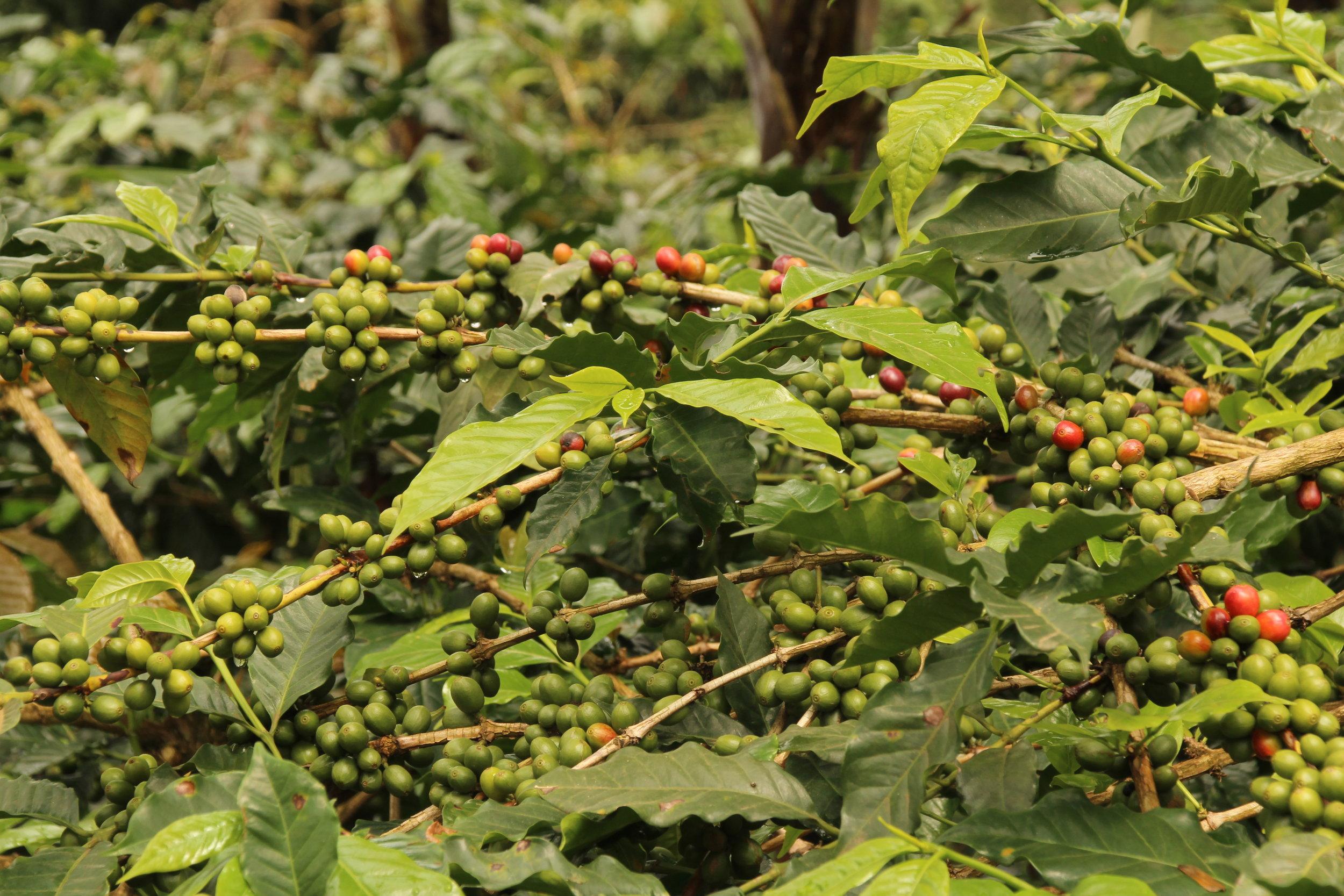 Coffee beans, Uganda 2017