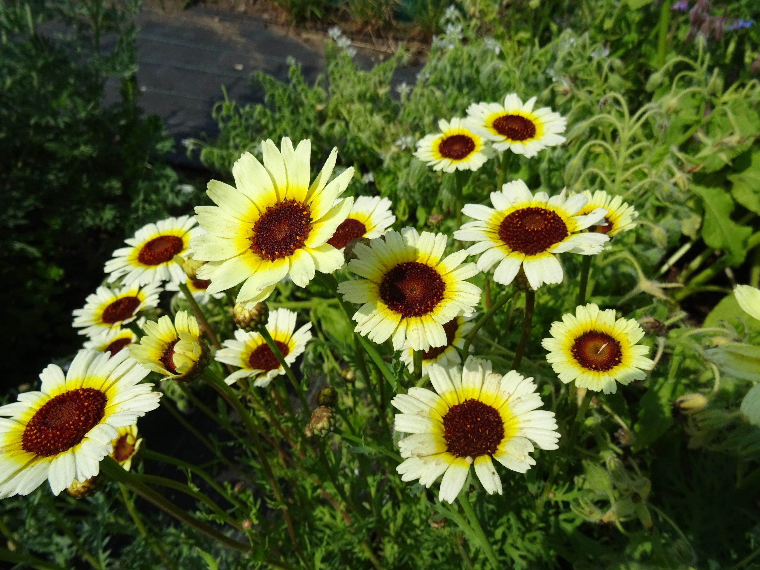Chrysanthemum 'Eastern Star'