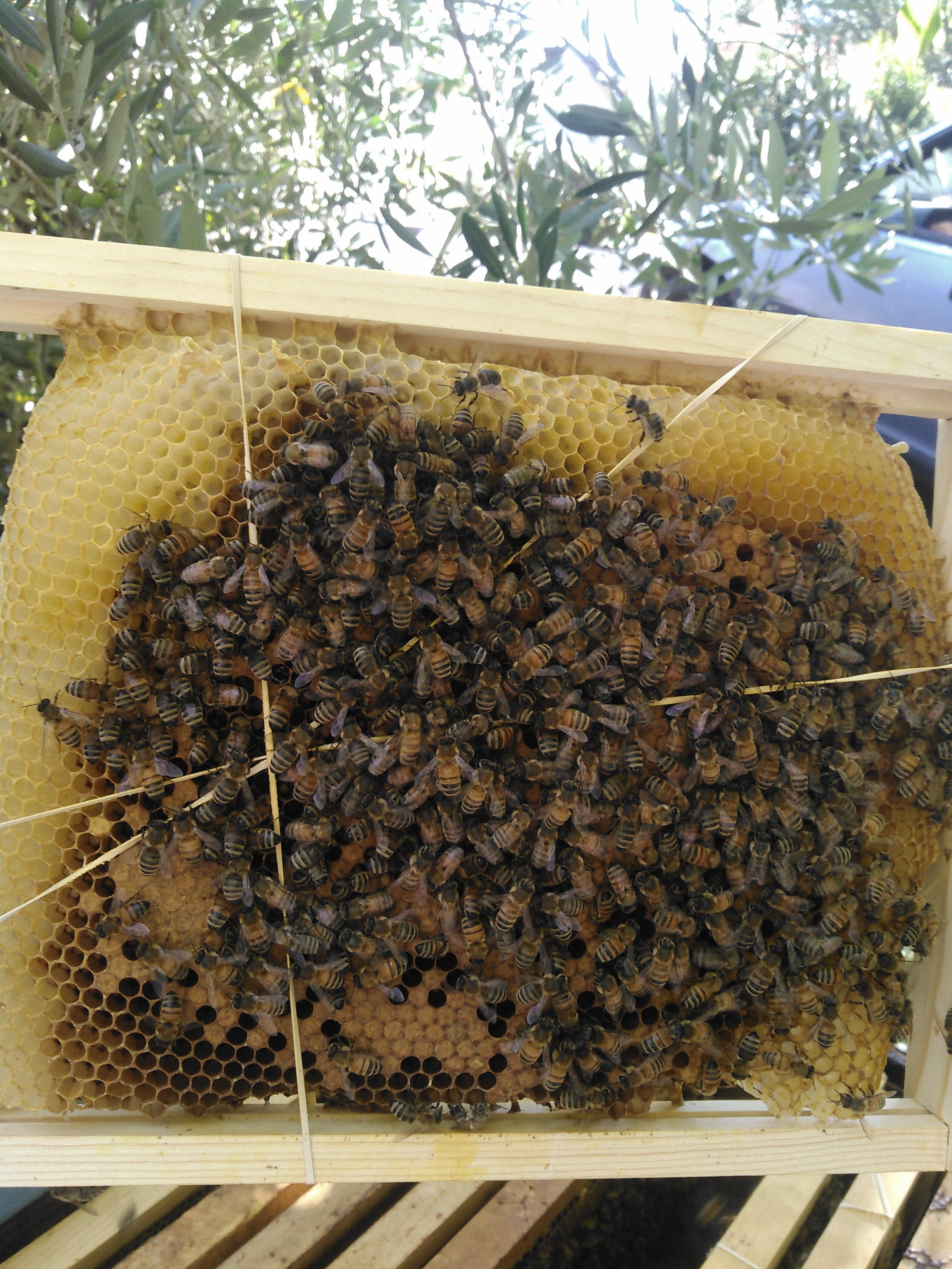 A few days later, the bees attach the comb to the frame. Soon the landing board will be littered with rubberband scraps