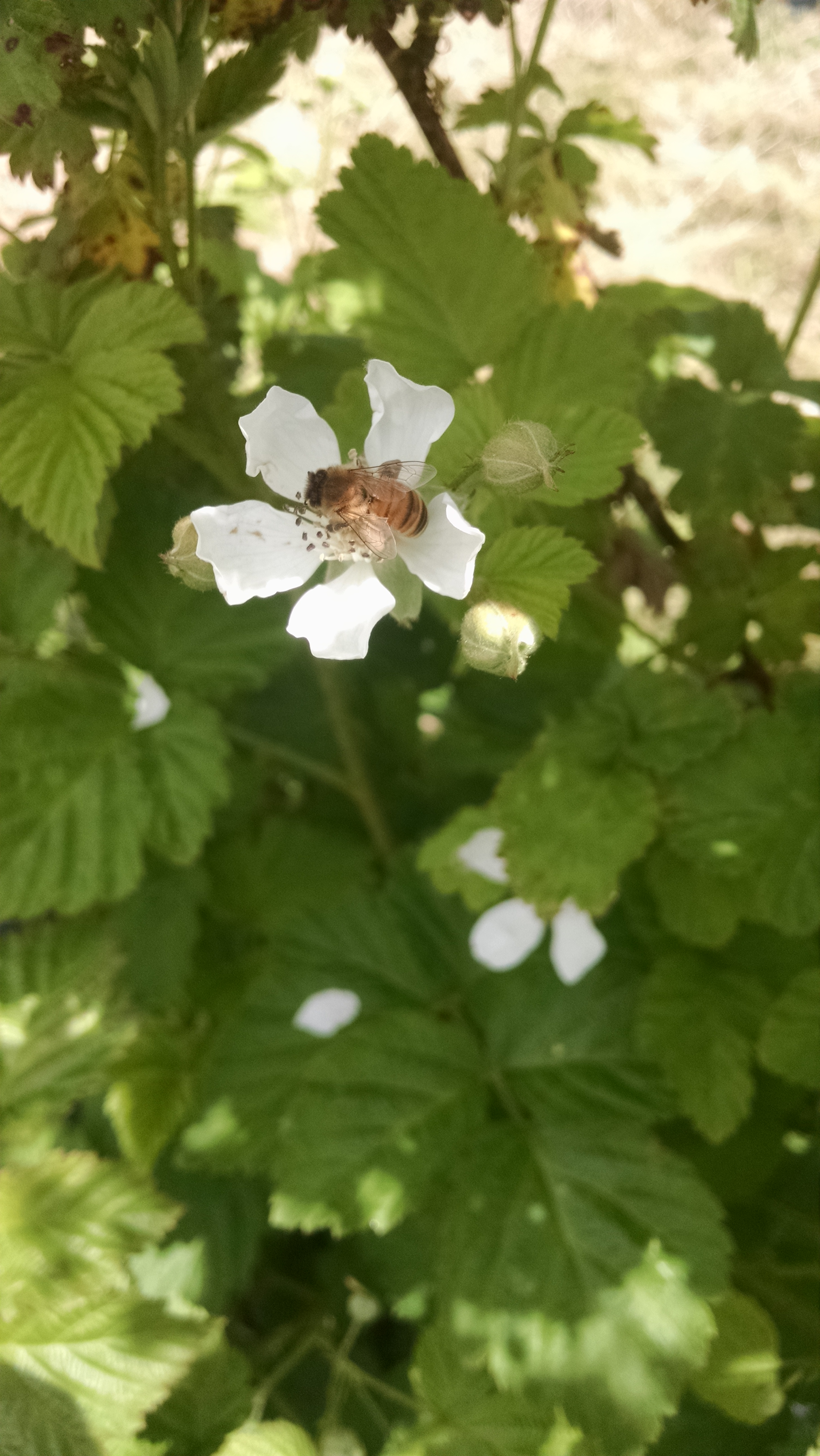 One of our bees pollinating the organic berries at the apiary site