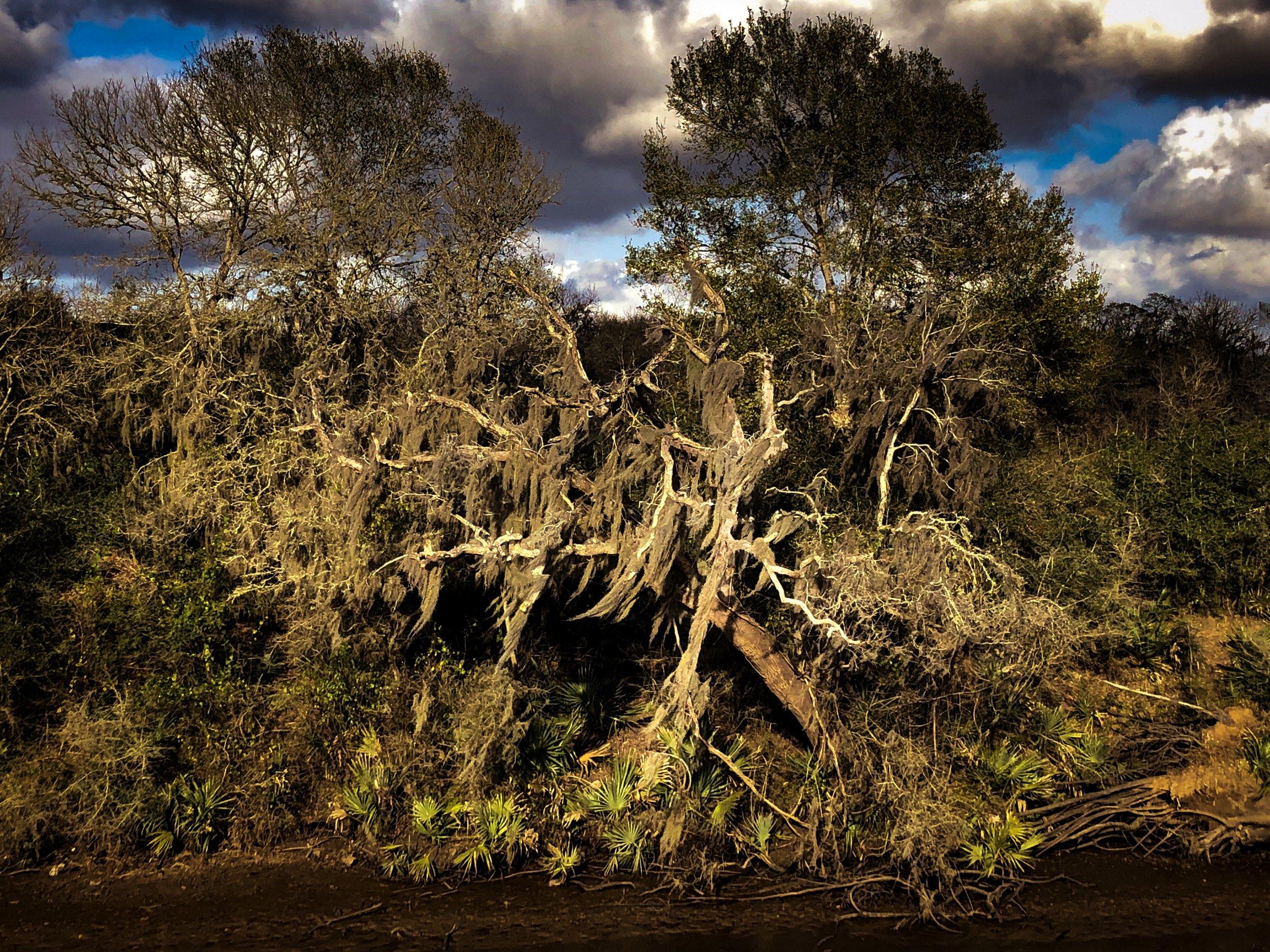 Dancing Live Oak by  Adam Graser Photography.JPG
