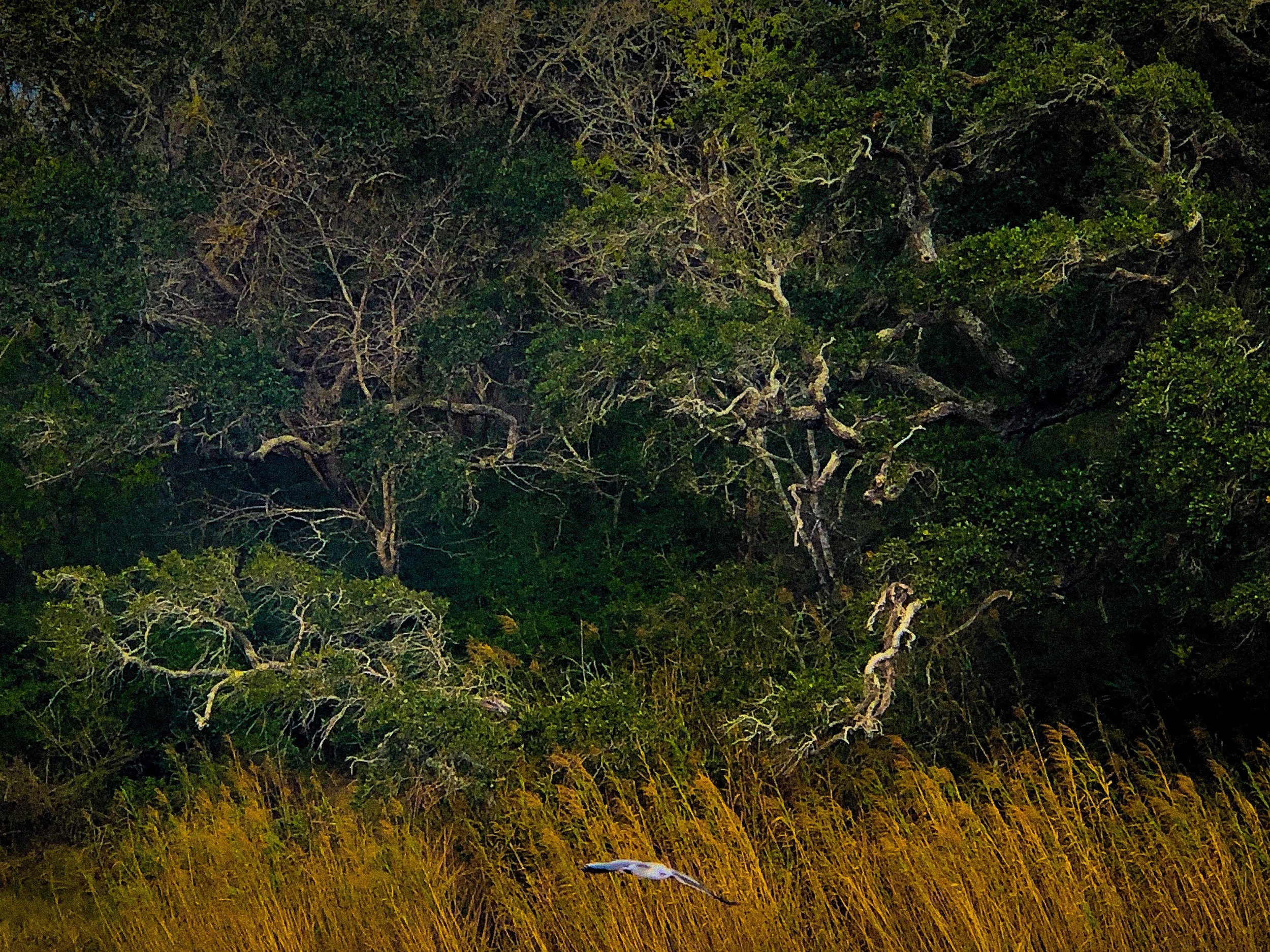 Gull in The Live OAks by Adam Graser .JPEG