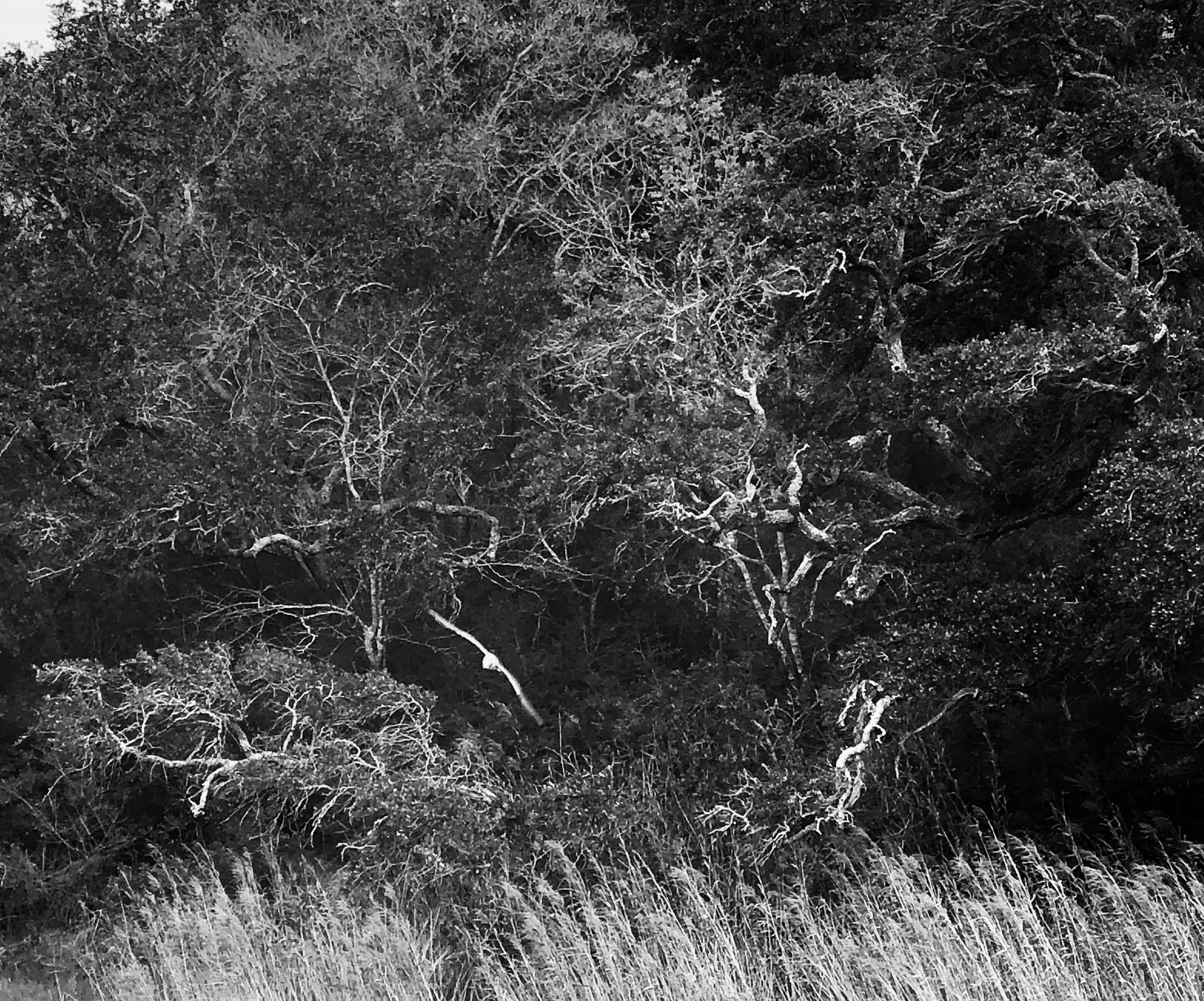 Seagull and Live Oaks BW by Adam Graser Photography.jpg