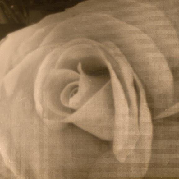 A rose taken with the pinhole Zero Image 135  #Rose #pinhole #35mm #filmphotography #ilfordhp5plus #zeroimage #lensless