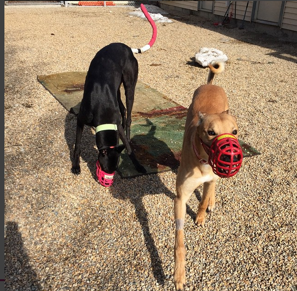 Greyhound Friends: Muzzled dogs