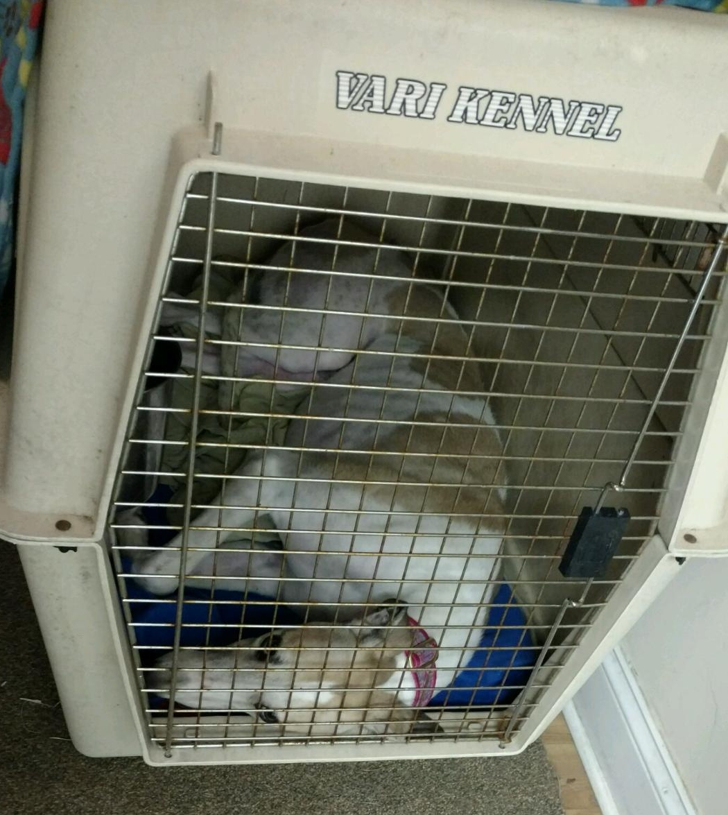 Greyhound in small crate