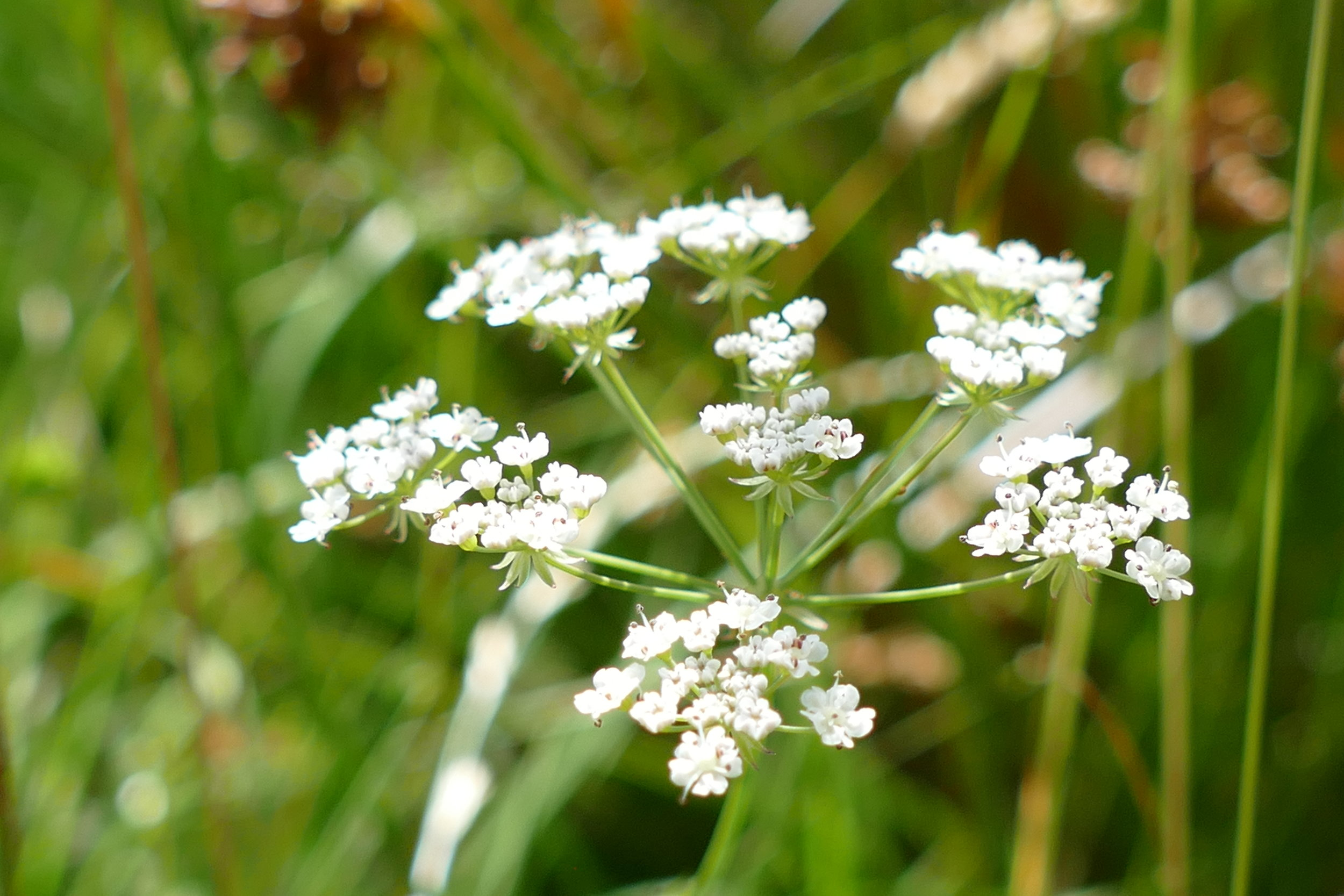 Whorled caraway, a signature plant of the diminishing damp 'rhos' (rough) pasture habitat of mid-Wales, has returned to Lofftwen.