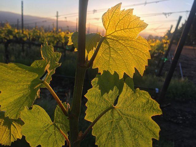 Morning light coming through the vines ☀️ 🍃 . . . . #EscolleVineyard #slh #santaluciahighlands #vineyards #chardonnay #pinotnoir #Escolle #vineyard #winetour #wines #wine #cawine #californiawine #winemakers #winelovers #winelover #winery #wineries #centralcoastwine #growerproducer #farmerfizz #popbottles