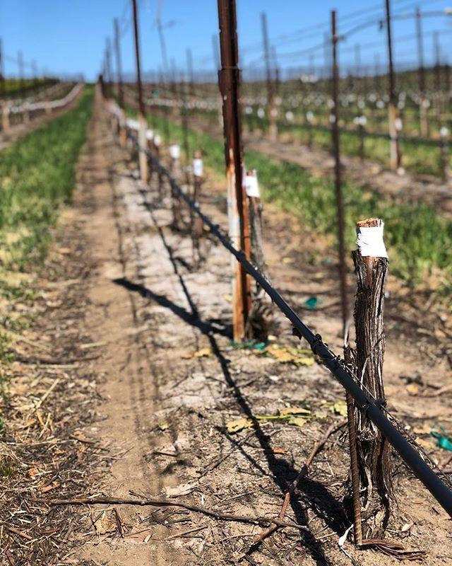 When the Syrah grafting is done ✅ . . . . . #EscolleVineyard #slh #santaluciahighlands #vineyards #chardonnay #pinotnoir #Escolle #vineyard #winetour #wines #wine #cawine #californiawine #winemakers #winelovers #winelover #winery #wineries #centralcoastwine #growerproducer #farmerfizz #popbottles