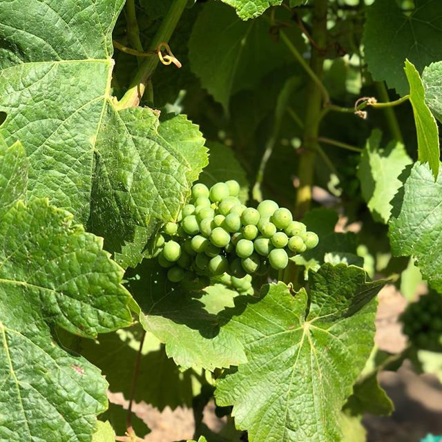 The canopy is full and the berries are sizing up with the recent warm(er) weather #pinotnoir