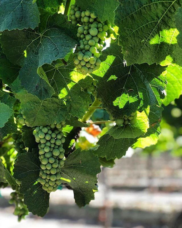 Grow on 🍇 #harvest2018 . . . . #EscolleVineyard #slh #santaluciahighlands #vineyards #chardonnay #pinotnoir #Escolle #vineyard #winetour #wines #wine #cawine #californiawine #winemakers #winelovers #winelover #winery #wineries #centralcoastwine #growerproducer #farmerfizz #popbottles