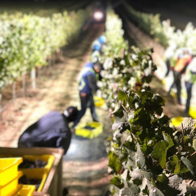 Night harvest in full effect . . . .  #caracciolicellars #winetasting #montereypeninsula #winemaker #slh #santaluciahighlands #vineyards #chardonnay #pinotnoir #Escolle #vineyard  #californiawine #winemakers #winelovers #winery #wineries #centralcoastwine  #farmerfizz #popbottles