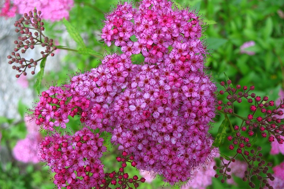 Anthony Waterer Spirea -