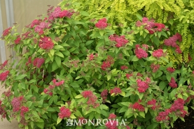 Double Play Red Spirea -