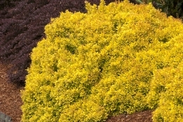 Golden Nugget Dwarf Japanese Barberry -