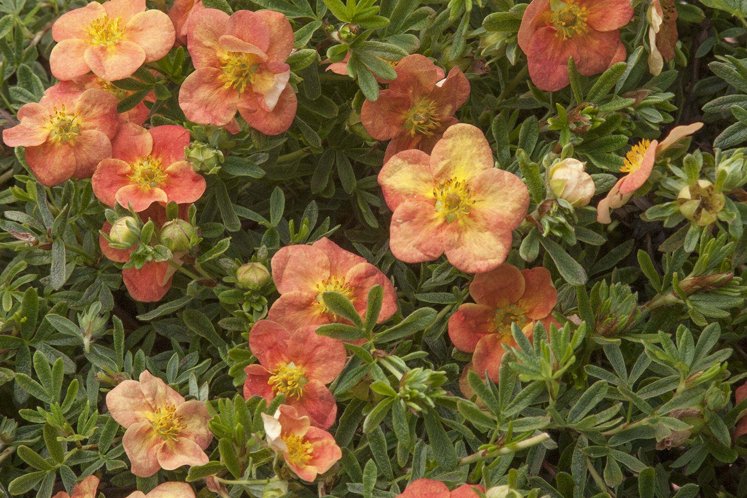 Red Ace Potentilla -