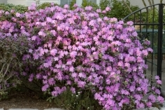 P.J.M. Rhododendron -