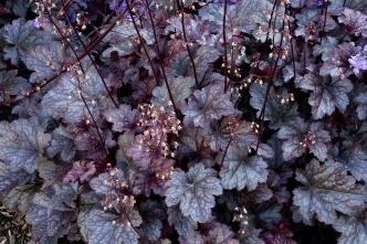 Plum Pudding Coral Bells -