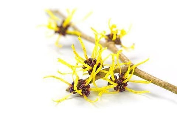 Witch Hazel is an incredibly effective ingredient in skin care. It relieves inflammatory issues such as acne, psoriasis and eczema, shrinks pores which in turns makes it harder for acne causing bacteria to enter, protects against skin damage and so much more. We have added it into our Green Tea and Cucumber Toner and now our latest Dead Sea Mud Mask. Head over to www.retiandrose.com  . . . . . . #naturalskincare #skincare #naturalskincareroutine #skincareroutine #naturalskincareproducts #skincareproducts #beauty #beautyroutine #beautyproducts #naturalbeauty #naturalbeautyroutine #naturalbeautyproducts #face #body #facial #glowing #glowingskincare #glowingskin #glowingskincareroutine #nzmadeskincare #nzmade #nzmadebeauty #madeinnz #nzbeauty #nzskincare #loveyourskin #loveyourself #selflove #beautyritual