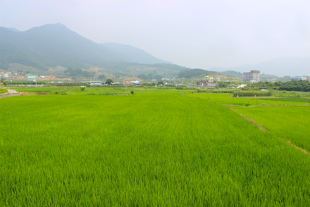 Rice-Paddies-3.jpg