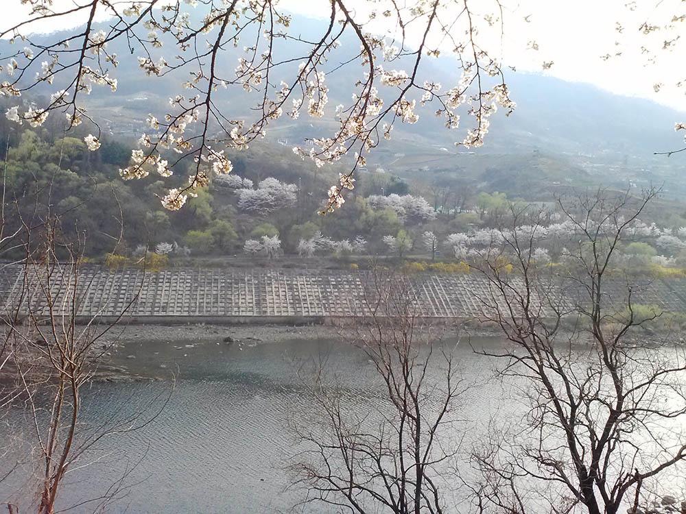Blossoms-across-the-river.jpg