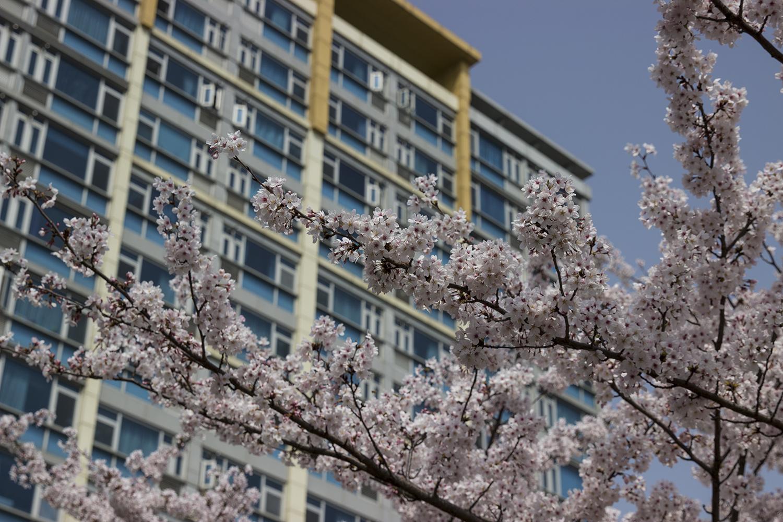 Cherry Blossom Living