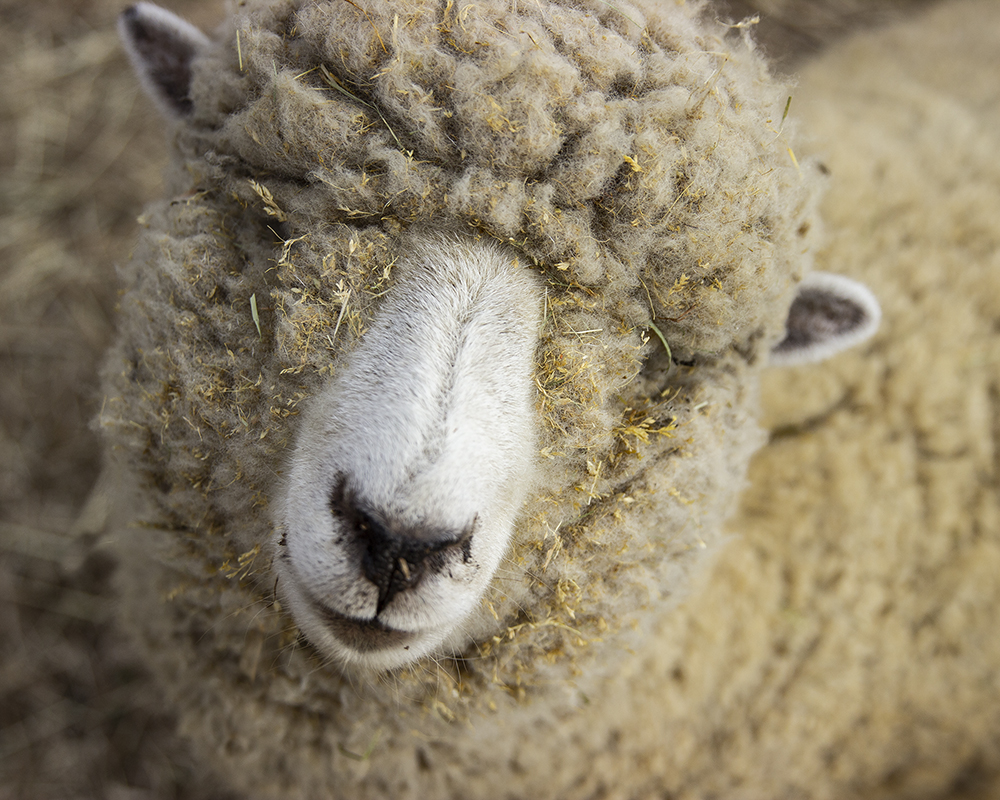 Perhaps even this sheep!