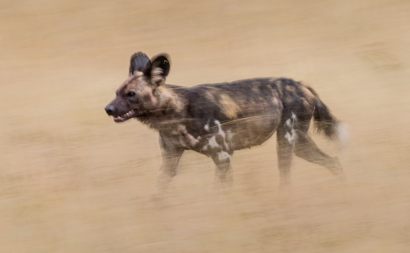 3 - Running African Wild Dog.jpg