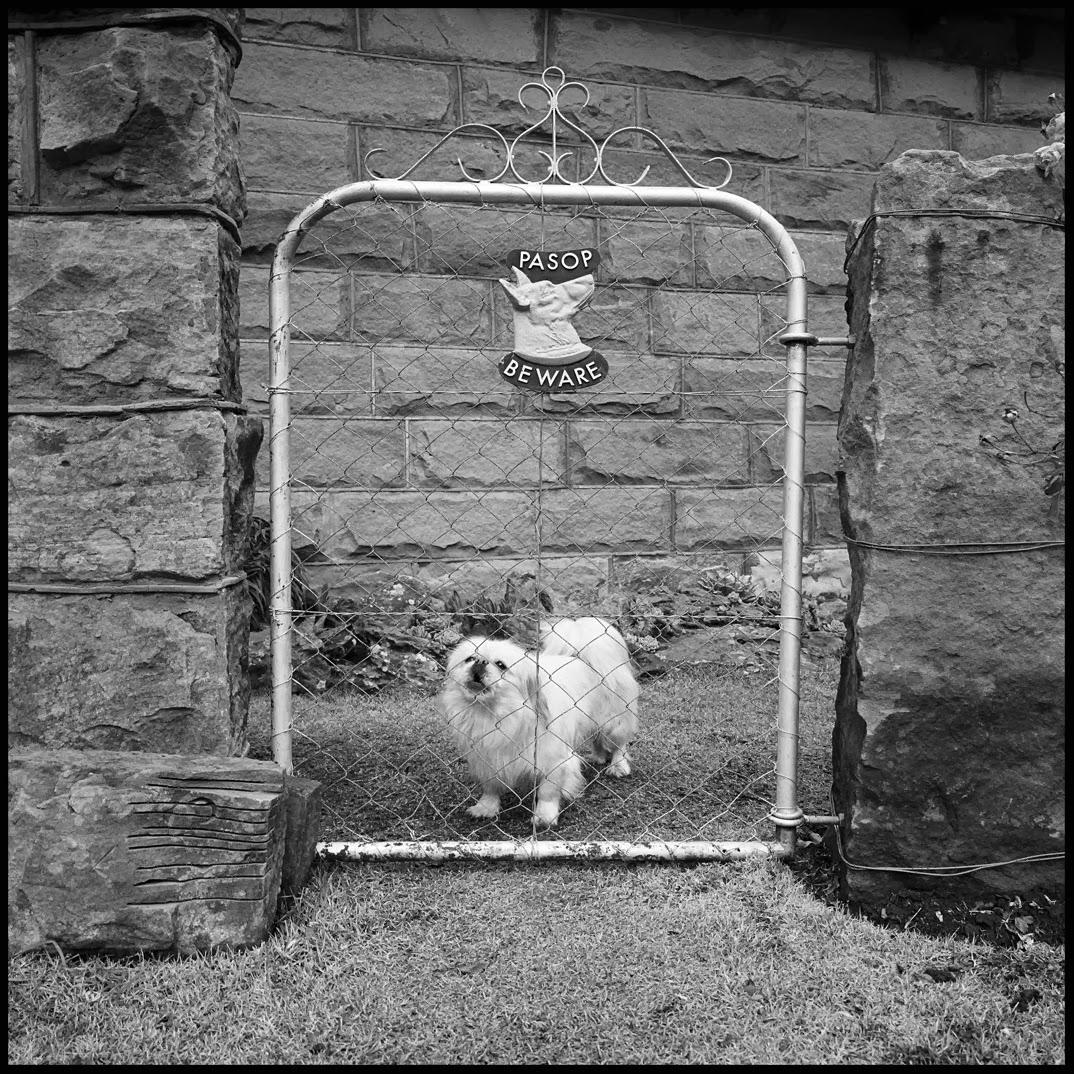 Beware of small white dog.jpg