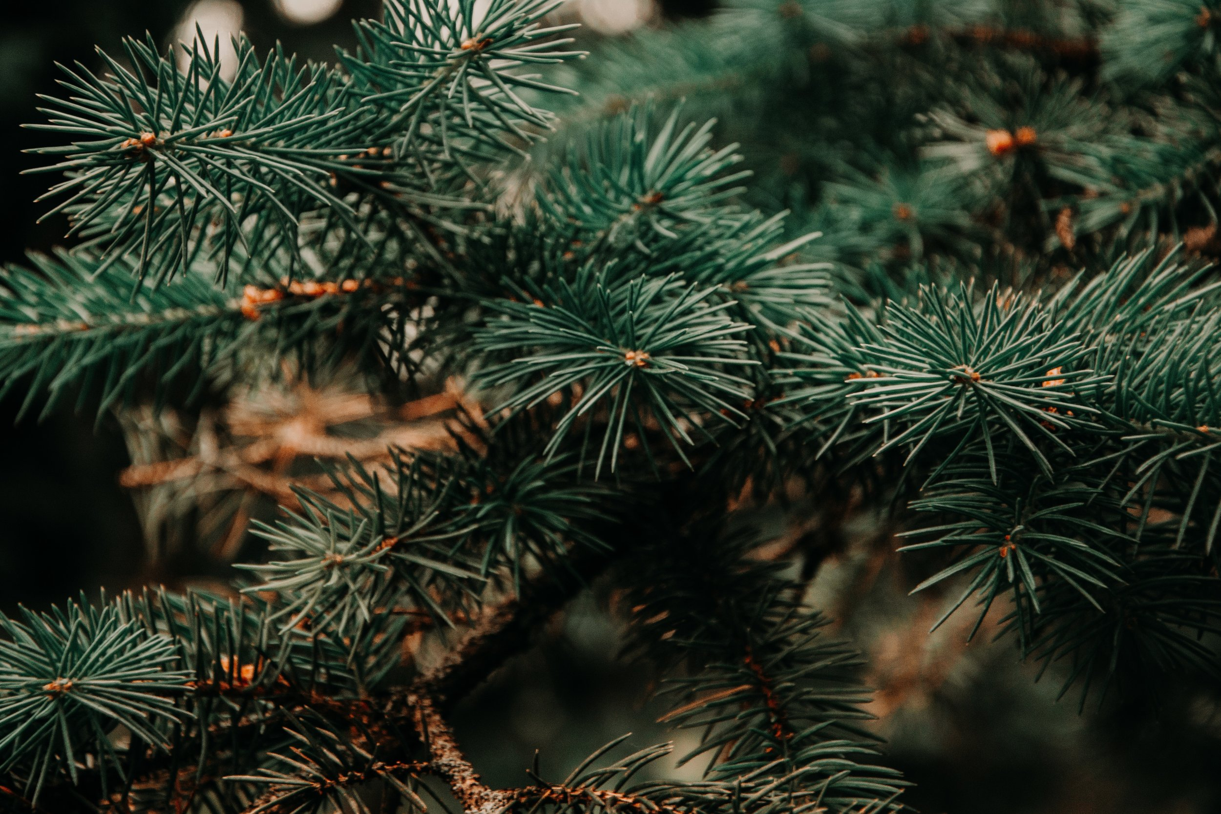 branch-christmas-tree-close-up-943900.jpg