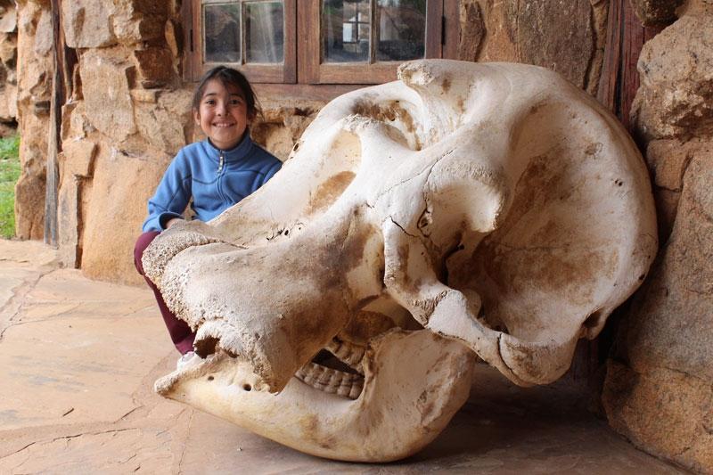Elephant-Skull.jpg