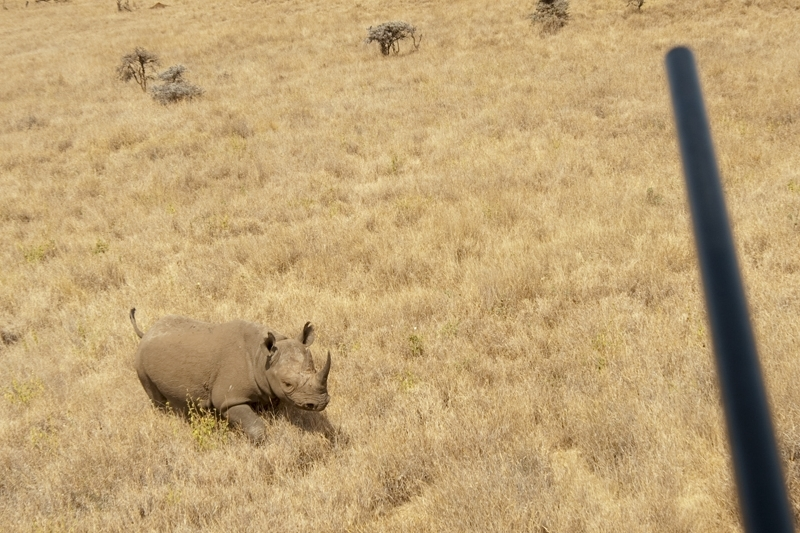 Darting a rhino from the helicopter.jpg