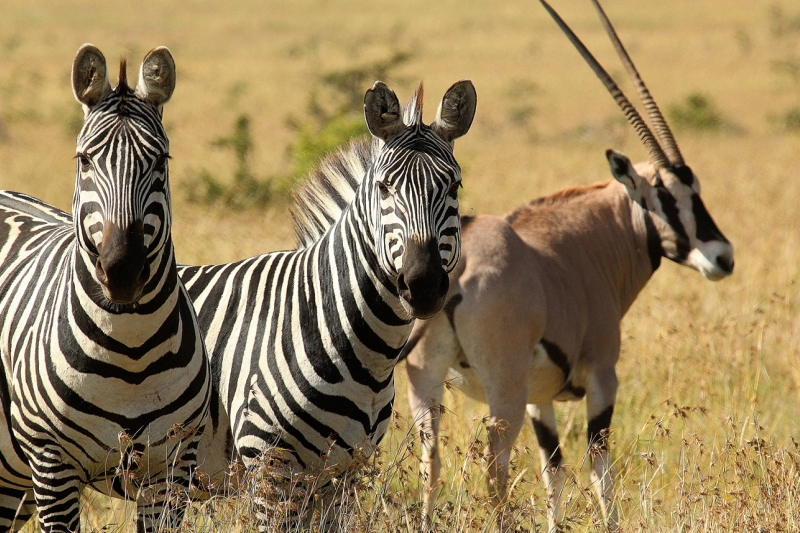 zebra and oryx.jpg