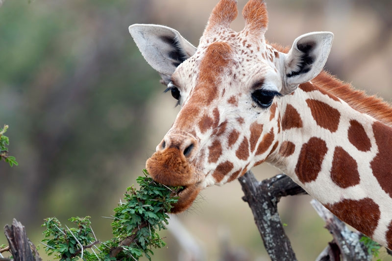 Reticulated-Giraffe.jpg