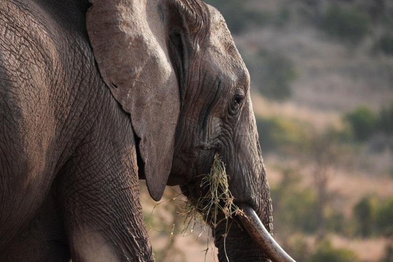 Bull-Elephant.jpg