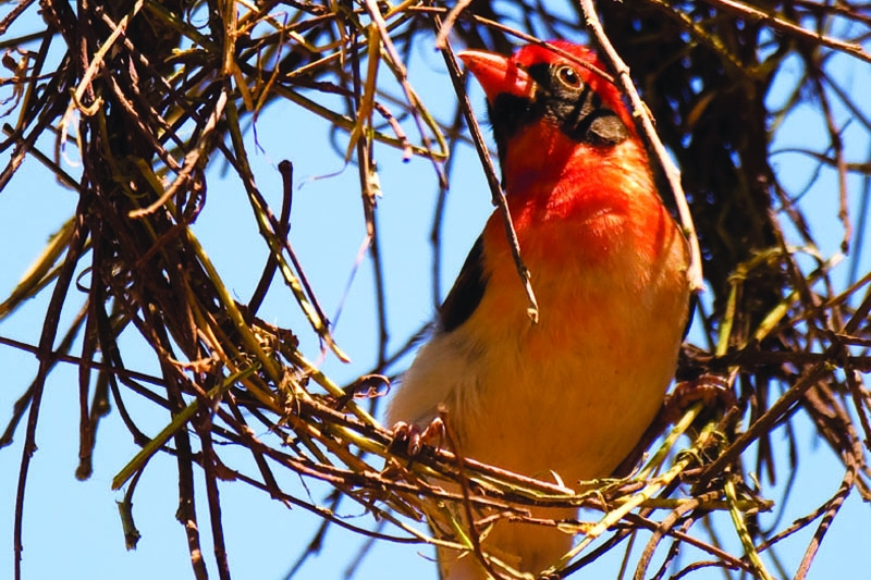 Red headed weaver.jpg