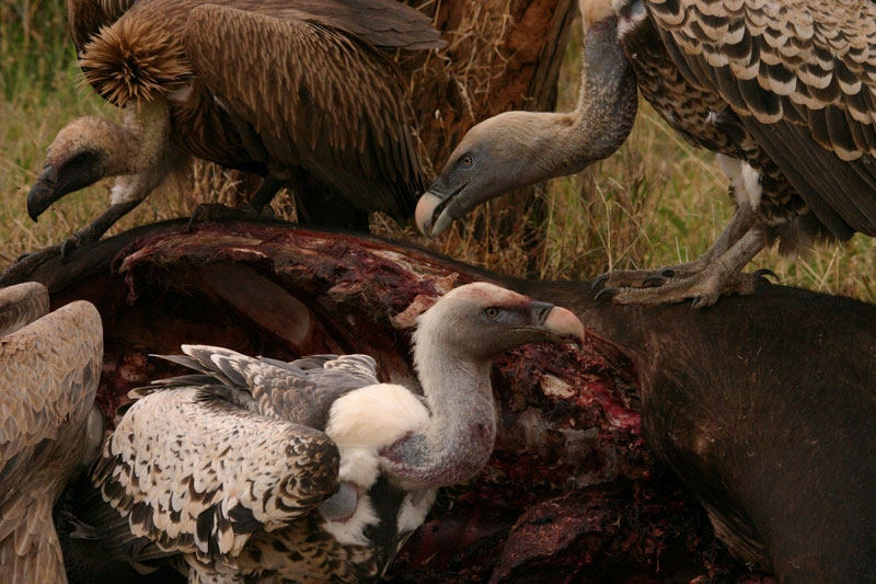 Ruppells-Griffon-&-White-backed-Vultures.jpg