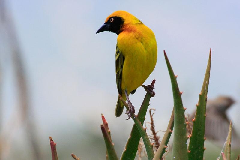 Spekes-Weaverbird.jpg