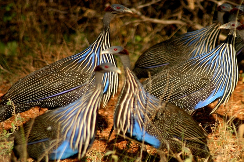 Vulturine-Guineafowl.jpg
