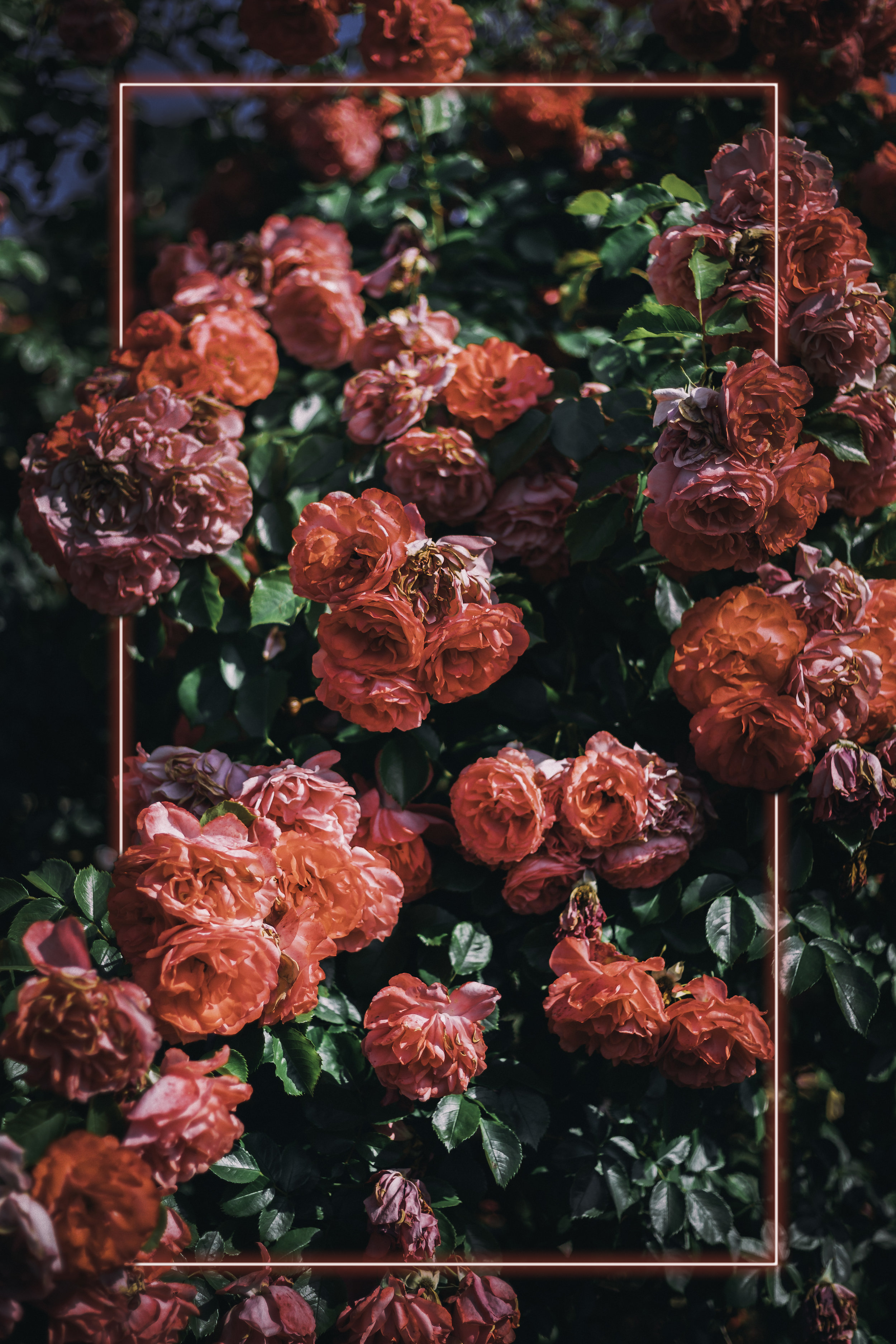 roses and red rectangle.jpg