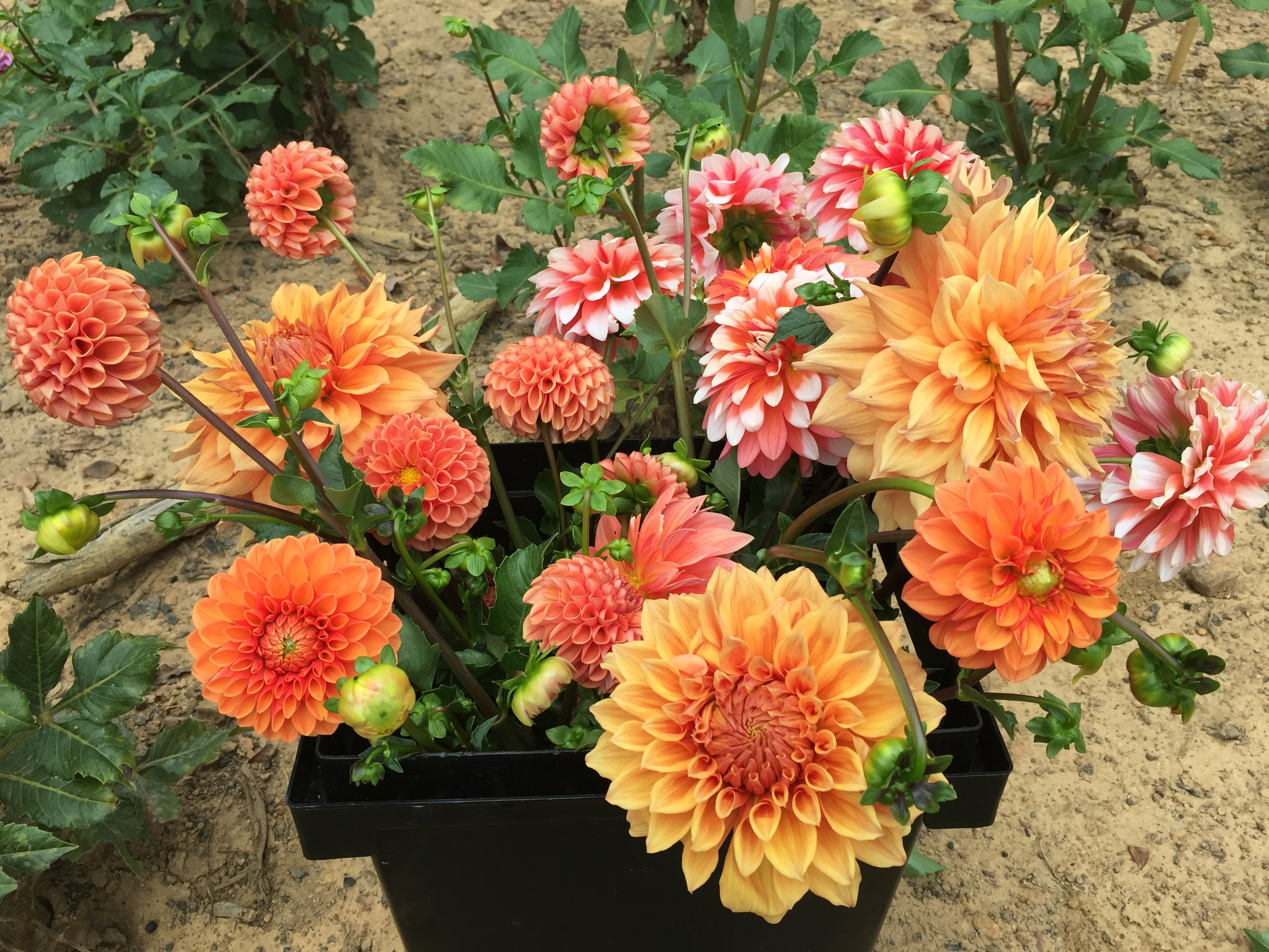 In September and October, we harvest buckets and buckets of dahlias.