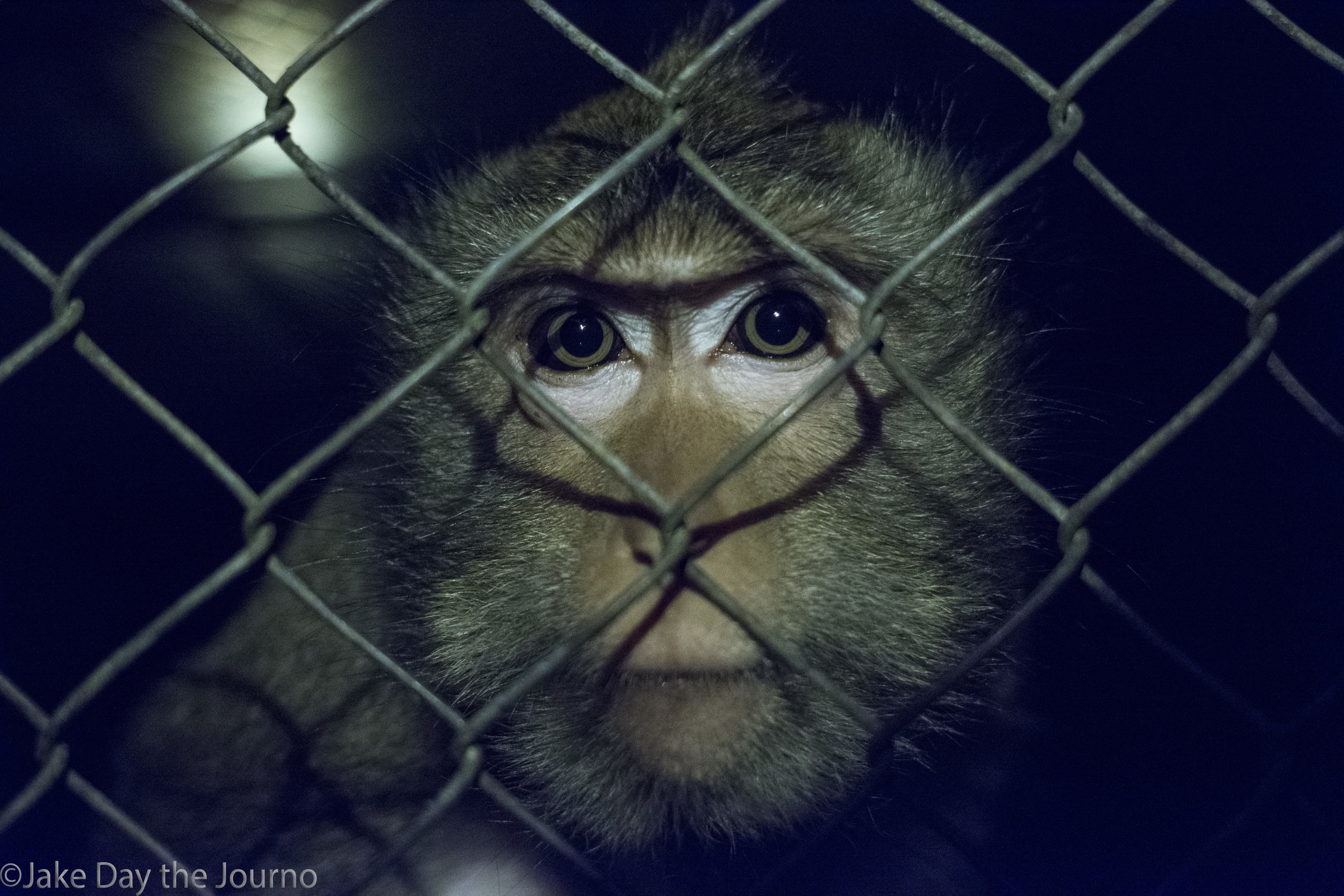 A Long Tailed Macaque peers through a cage at Wildlife Alliance's Cardamom Mountains Release Centre on the night of 08/01/2018 by Jake Day. This Macaque was attacked by a wild troop of monkeys upon its release and now lives in an enclosure with its baby for safety. Releasing wild animals is a challenge and rarely a straightforward process.