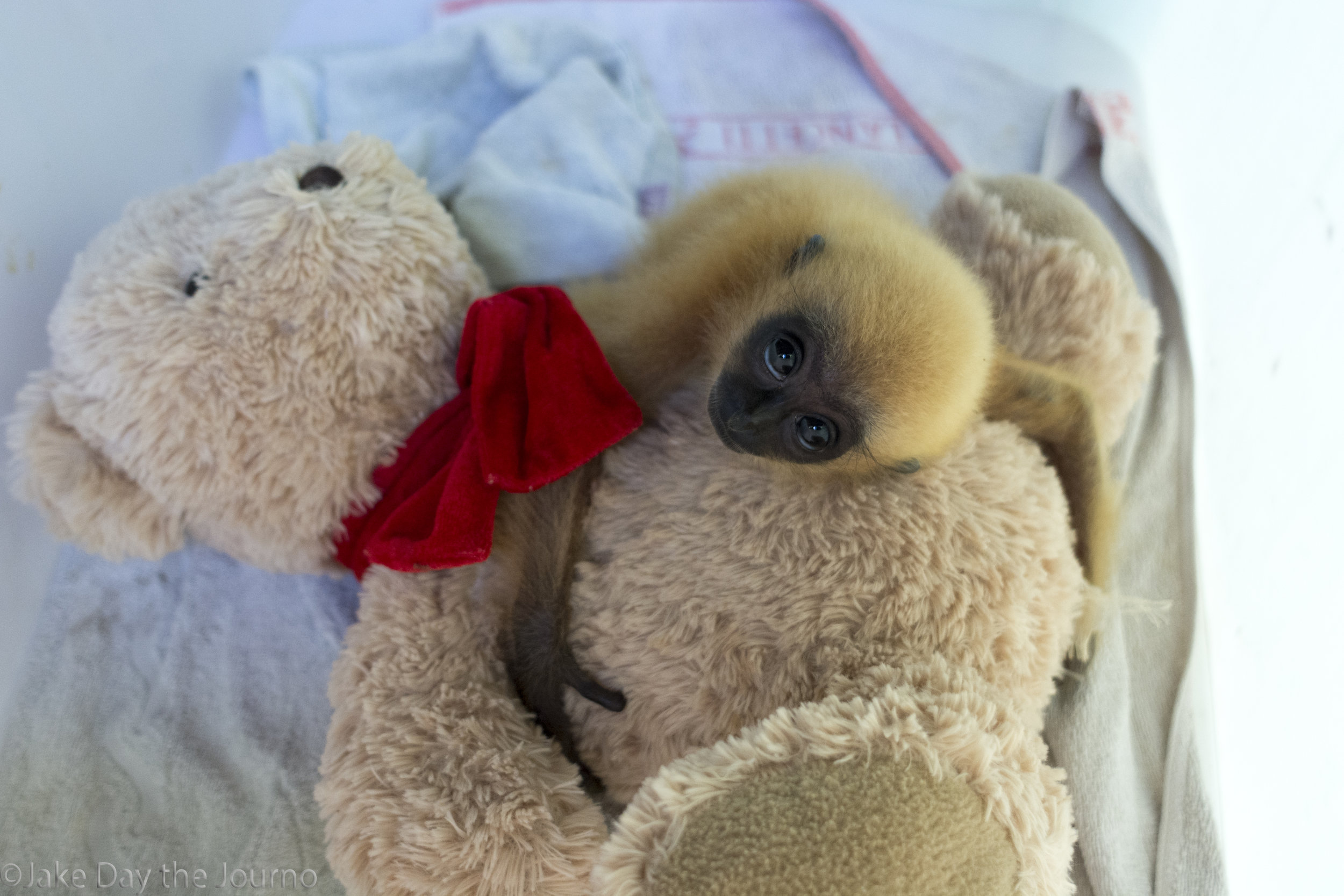 A baby Gibbon cuddles a surogate teddy bear at Wildlife Alliance's Phnom Tamao Rehabilitation Centre on 11/01/2018 by Jake Day. The baby Gibbon clings to the teddy bear, continuously rocking the bear back and forth to simulate the motion its mother would make it the wild.